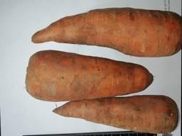 Je vais vendre des carottes en gros Kazakhstan