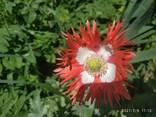Маки декоративные (семена) - фото 6