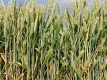 Пшеница – Wheat - фото 1