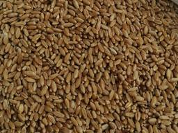 Selling 3000 tons of durum wheat. пшеница